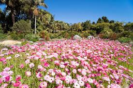 Mt Annan Botanical Garden Paper Daisies Create Eye Popping Display Gardendrum