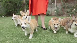 Can You Find Queen Elizabeth In This Sea Of Corgis Aol News