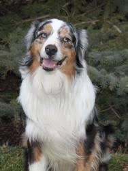 is an australian shepherd smart adopt sawyer on eyes australian shepherd and australian