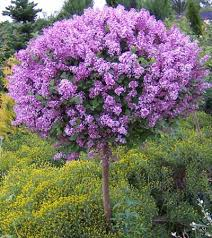 Shrub With Fragrant Purple Flowers - vibrant lilac blooms on a dwarf tree u2022 neon purple blooms