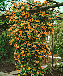 honeysuckle u0027goldflame u0027 honeysuckle u0027goldflame u0027 lonicera x