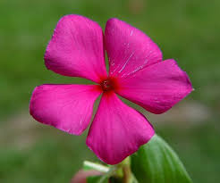 Vinca Flowers Catharanthus Roseus Vinca Medicinal Uses And Images