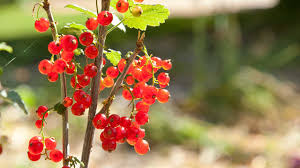 currants are the edible almost everyone can grow organic