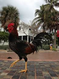 roosters and chickens in kw i refer to them as key west squirrels