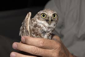 tiny backpacks on small owls helps conservation presidio sentinel