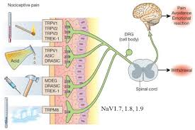 Pain Reflex Pathway Auditory Nociception And Pain Hyperacusis Symposium Hyperacusis