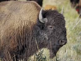 the incredible shrinking bison an unexpected impact of climate