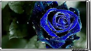 Blue Roses Blue Rose Wallpaper Android Apps On Google Play