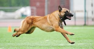 belgian malinois 10 weeks top 10 service dogs dogtime