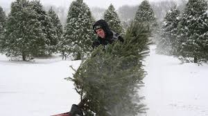 cut down own christmas tree chicago cut down your own christmas