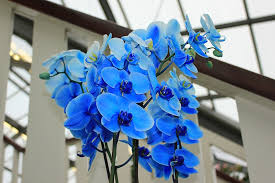 Blue Orchid Flower - free photo orchid blue orchid flowers free image on pixabay