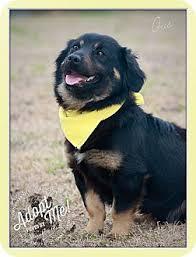australian shepherd upstate ny gus adopted dog albany ny australian shepherd corgi mix