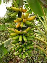 banana basics best site for all info on growing your own bananas