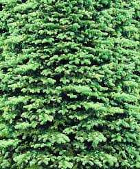 Fresh Christmas Trees Vancouver Wa by 9 Things To Know Before Cutting Down A Christmas Tree Outdoors