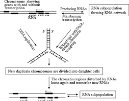 a genetic program theory of aging using an rna population model