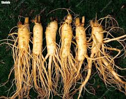 Chinese Root Vegetables - 35pcs bag exotic panax seeds outdoor chinese hardy ginseng