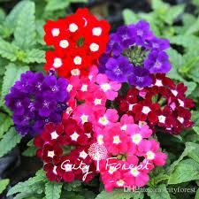 verbena flower verbena hybrida flower mix color 100 seeds bag easy to grow from