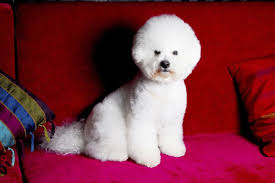 bichon frise 17 years old when does a bichon frise puppy reach full size dog care the