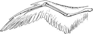 Bird Wing - bird wing clipart etc