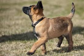 belgian sheepdog size and weight belgian malinois puppies breed at a glance