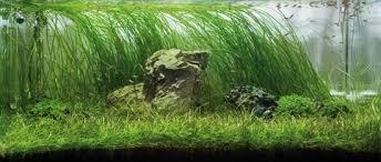 japanese aquascape iwagumi aquascapes an introduction the green machine