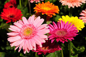 gerbera daisies all you need to about growing gerbera daisies