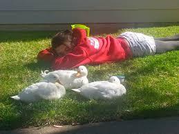 beautiful day with beautiful ducks backyard chickens
