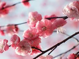 the best cherry trees for early blossom saga