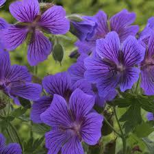 Geranium by Geranium Magnificum Rosemoor