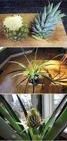 best 25 pineapple bush ideas on pinterest pineapple top grow