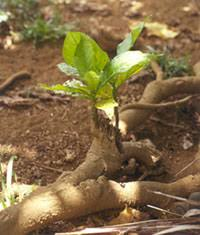 Vegetative Propagation By Roots - the noni website horticulture and production
