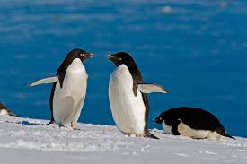 penguins caught feasting on an unexpected prey