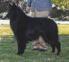belgian sheepdog groenendael rescue 2011 costa mesa ca belgian sheepdog club of america