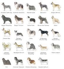 belgian sheepdog pros and cons zack wahthye g herding group dog breeds pinterest german