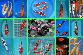 wholesale ornamental fish from uk pond products