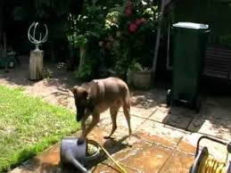 belgian malinois water belgian malinois puppy playing with water watering can hose