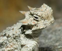 Seeking Lizard Cast Desert Horned Lizard Phrynosoma Platyrhinos Click Here To Open