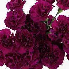 purple carnations mini carnation flowers