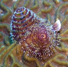 worms of flower garden banks national marine sanctuary