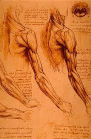 leonardo da vinci anatomical drawings muscles