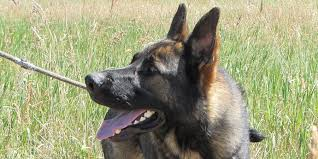 belgian shepherd dog temperament belgian malinois information characteristics facts names