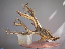 bonsai northside nursery driftwood infusion or tanuki bonsai