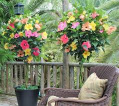 Braided Hibiscus Tree Pictures by Cottage Farms Tropical Breeze 4 N 1 Braided Hibiscus Tree Page 1