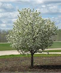 tree with white flowers crabapples trees on the move