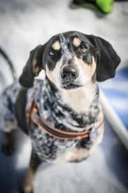 bluetick coonhound puppies for sale in texas 142 best bluetick houndz images on pinterest bluetick coonhound