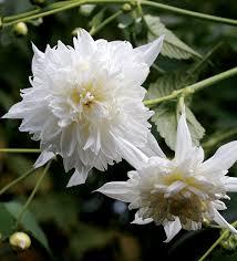 dahlia imperialis white white tree dahlia buy