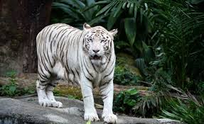omar the white tiger in singapore zoo has been put to