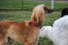 afghan hound therapy dog willow afghan hound rescue home facebook