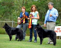 belgian sheepdog trials belgian shepherd dogs belgian shepherds belgian sheepdogs