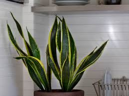 Low Light House Plant Browse Houseplants Gardenista